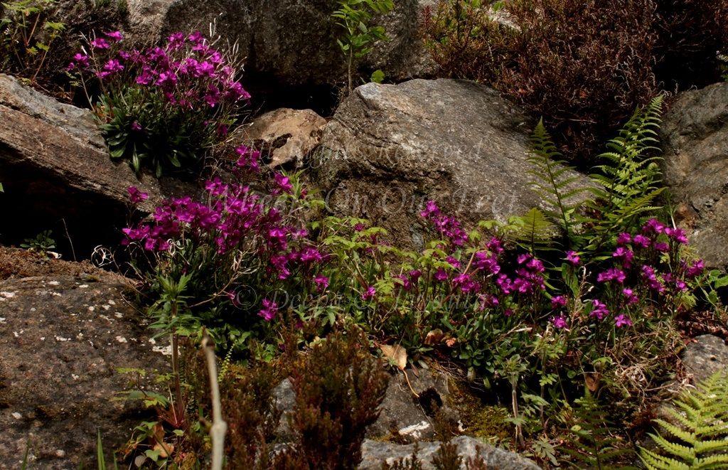Flowers in Scotland (10)