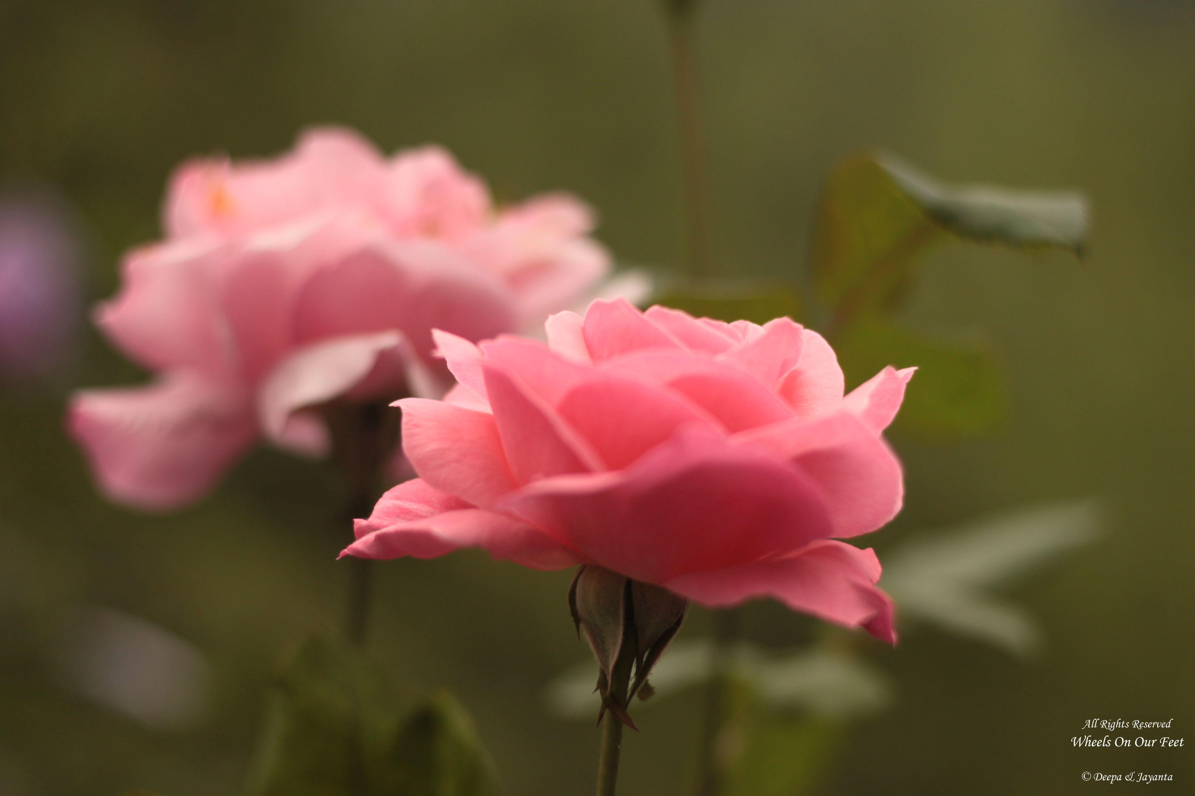 Flowers in Chail, Himachal Pradesh (