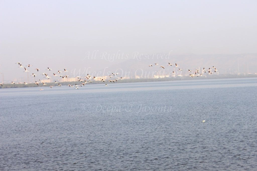 How About A Date With Flamingos @Sewri Mudflats This Weekend?