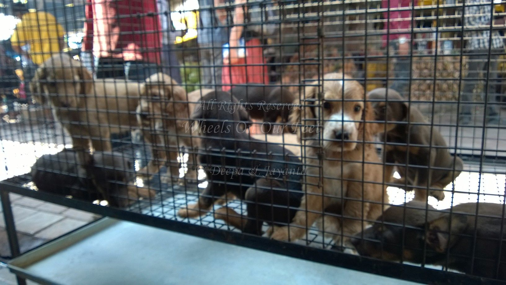 Dog For Sale In Pet Shop