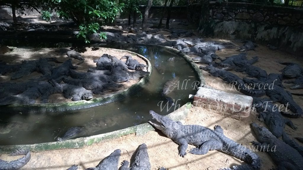 Tour Of Madras Crocodile Park In Chennai 3 Wheels On