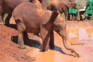 Tour of David Sheldrick Elephant Centre in Nairobi, Kenya