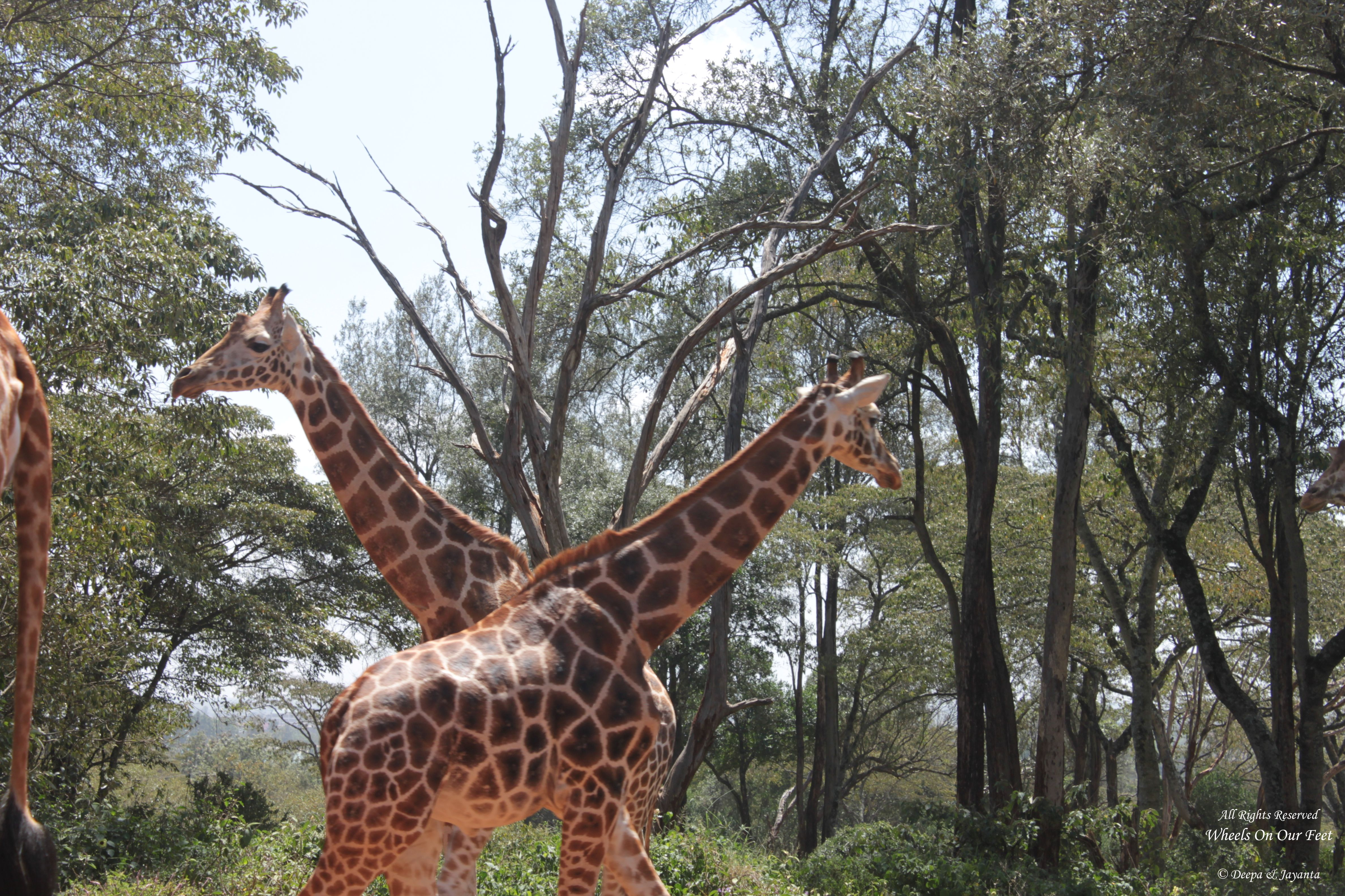 Tour of the Giraffe Centre in Nairobi, Kenya (13)
