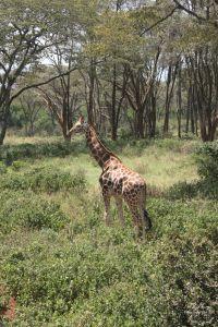 Tour of the Giraffe Centre in Nairobi, Kenya