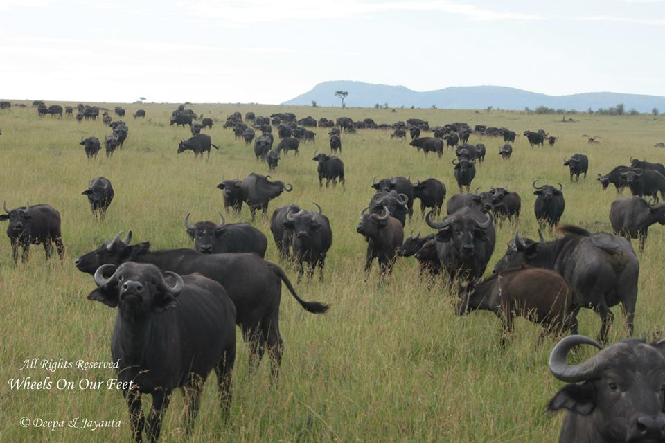 Full-day game drive in Maasai Mara